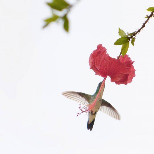 Der Kolibri (mAu - photocase)